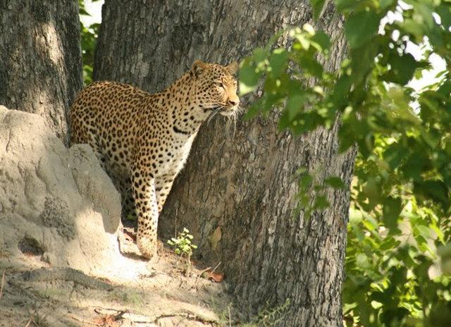博茨瓦纳狮子保护园_图1-34