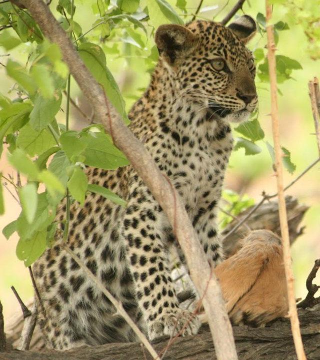 博茨瓦纳狮子保护园_图1-41