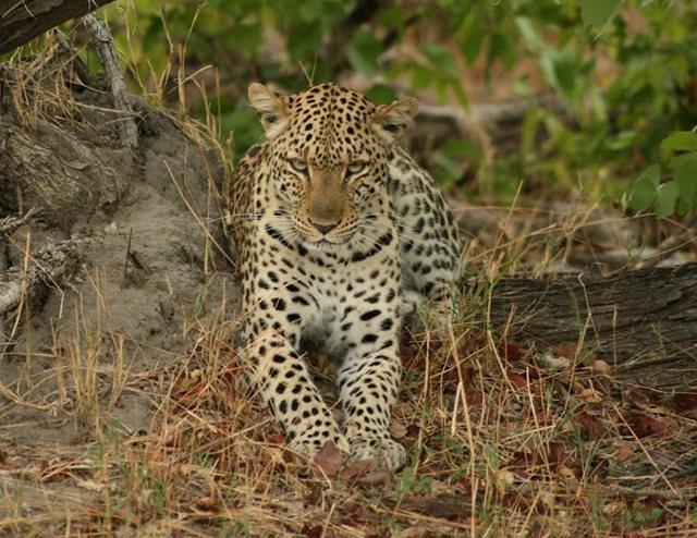 博茨瓦纳狮子保护园_图1-43