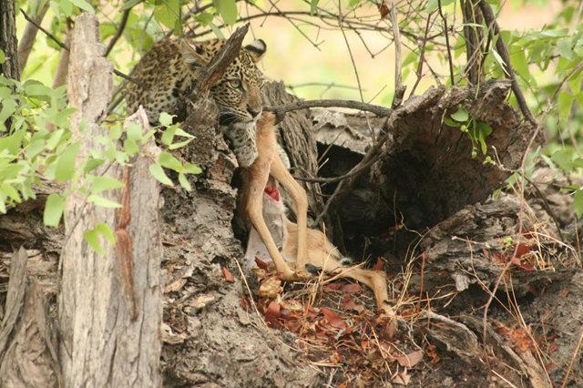 博茨瓦纳狮子保护园_图1-45