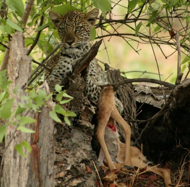 博茨瓦纳狮子保护园_图1-46