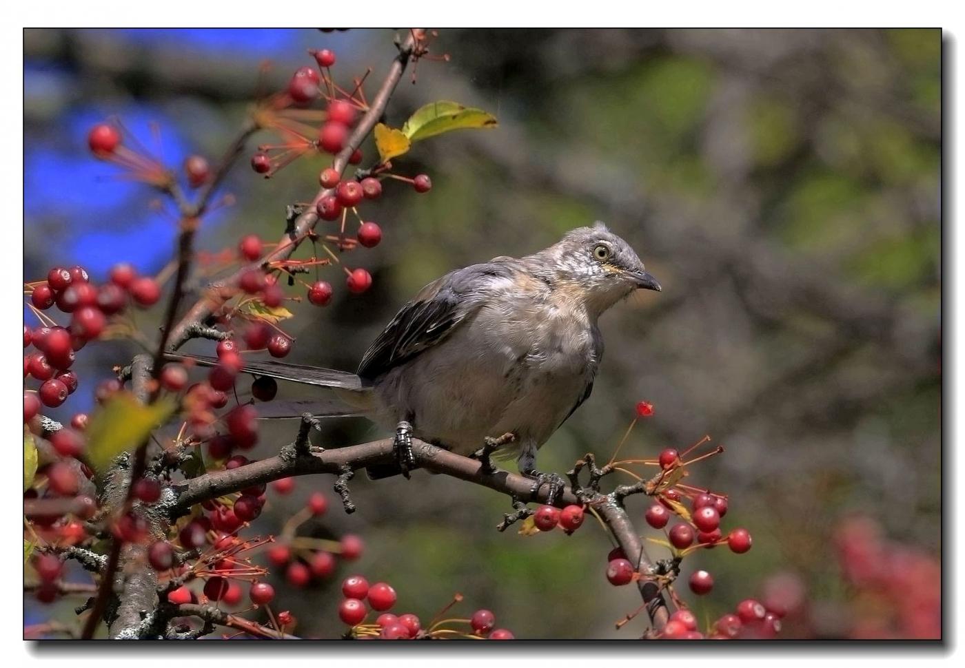 果熟鸟来图-灰猫朝鸫_图1-5
