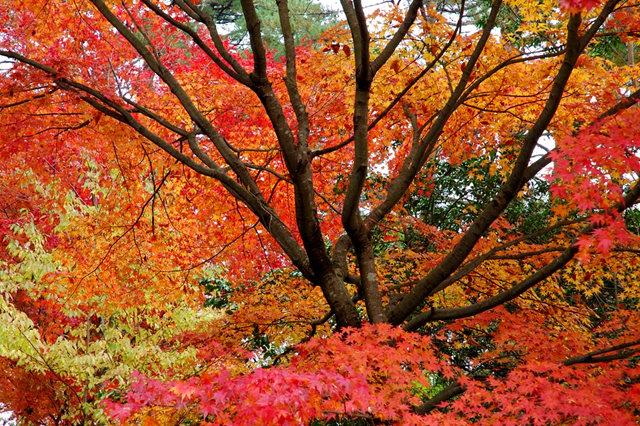 红叶与黄叶_图1-1