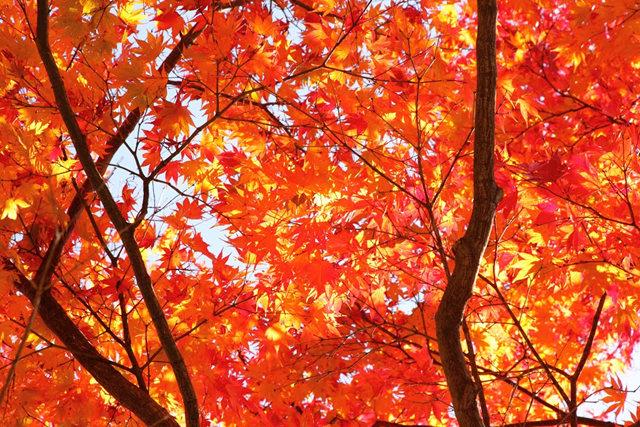 红叶与黄叶_图1-2