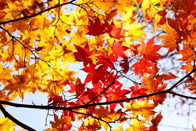 红叶与黄叶_图1-3