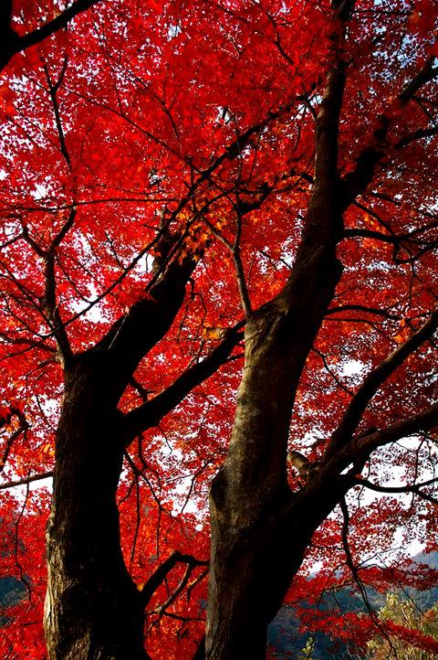 红叶与黄叶_图1-5