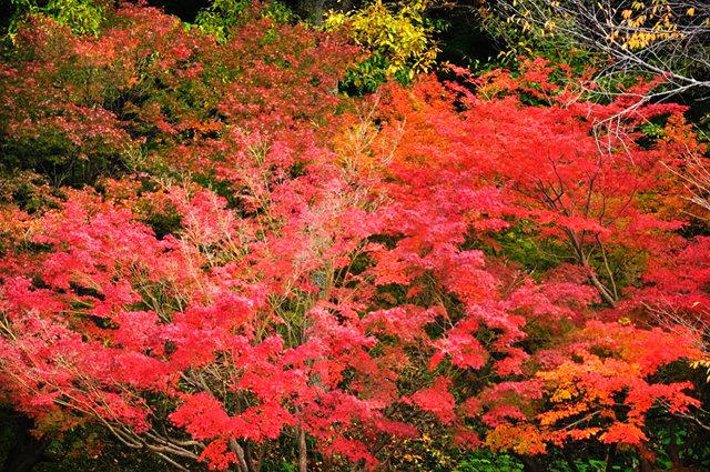 红叶与黄叶_图1-8