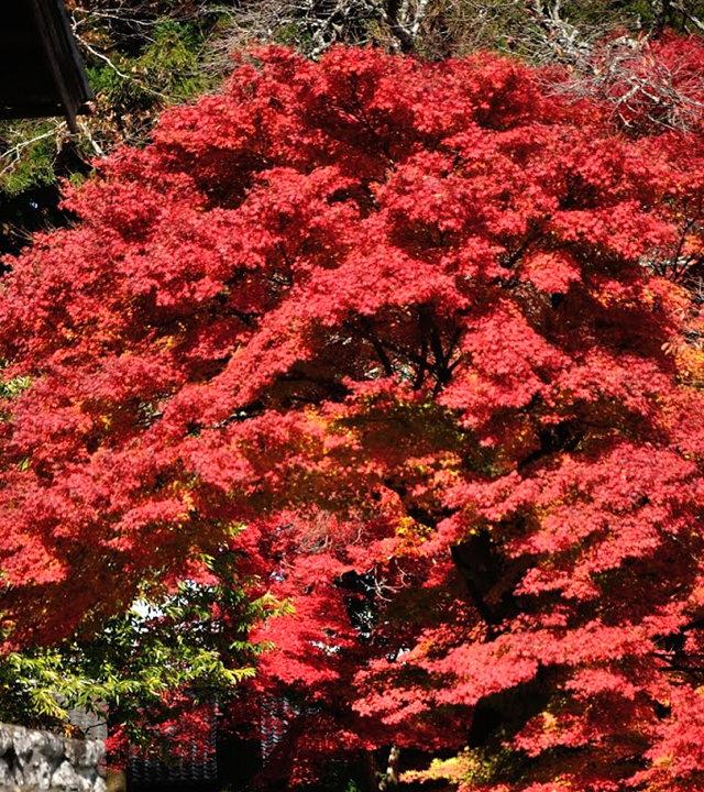 红叶与黄叶_图1-9