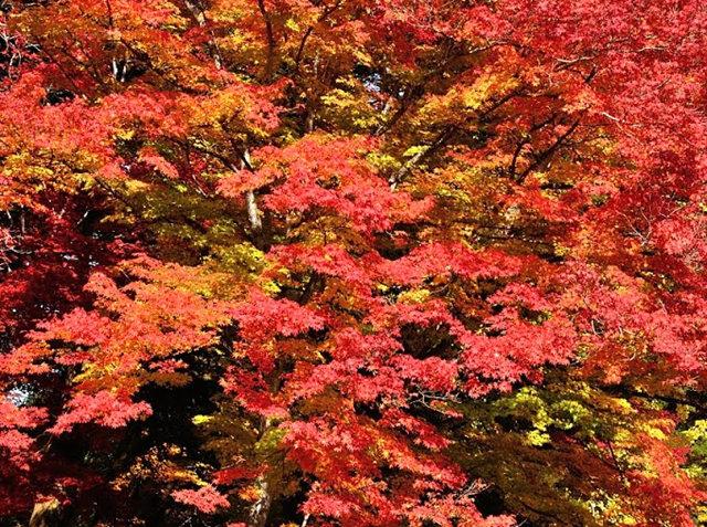 红叶与黄叶_图1-10