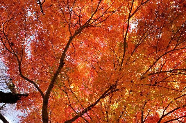 红叶与黄叶_图1-11