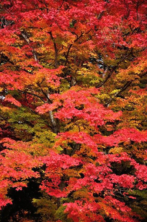 红叶与黄叶_图1-13
