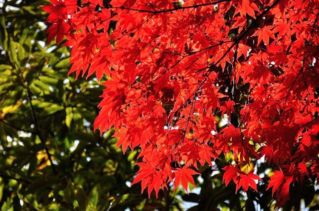 红叶与黄叶_图1-15