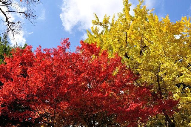 红叶与黄叶_图1-17