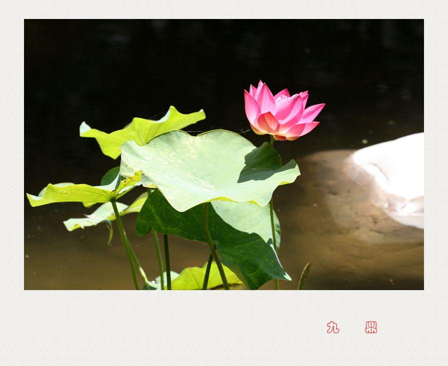 荷    花_图1-5