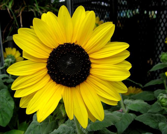 拍自今年8月11日的美国向日葵.与2013年拍自东京的日本向日葵_图1-5