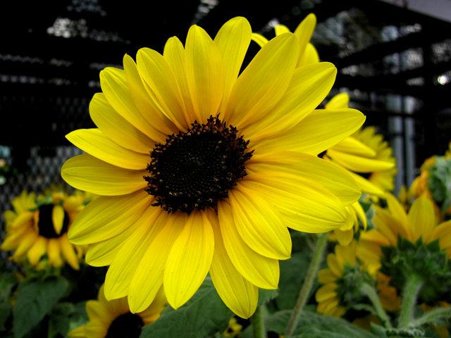 拍自今年8月11日的美国向日葵.与2013年拍自东京的日本向日葵_图1-9
