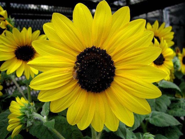 拍自今年8月11日的美国向日葵.与2013年拍自东京的日本向日葵_图1-10