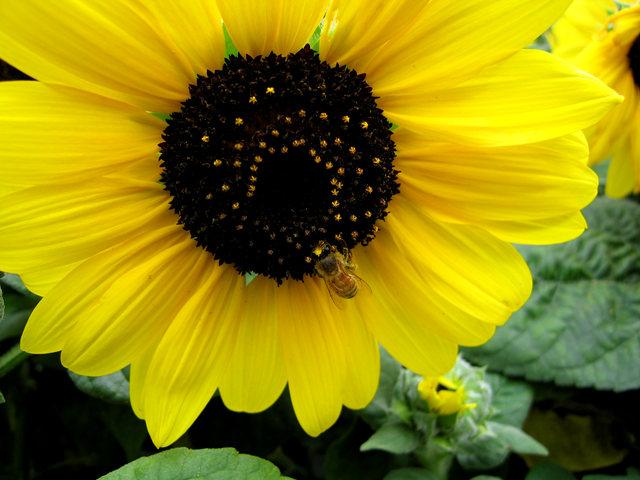 拍自今年8月11日的美国向日葵.与2013年拍自东京的日本向日葵_图1-11