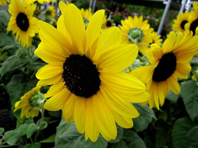 拍自今年8月11日的美国向日葵.与2013年拍自东京的日本向日葵_图1-12