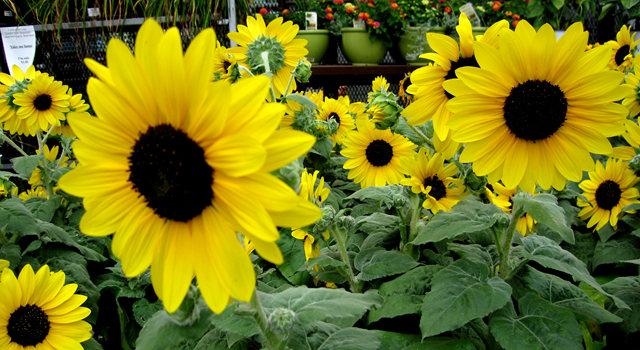 拍自今年8月11日的美国向日葵.与2013年拍自东京的日本向日葵_图1-15