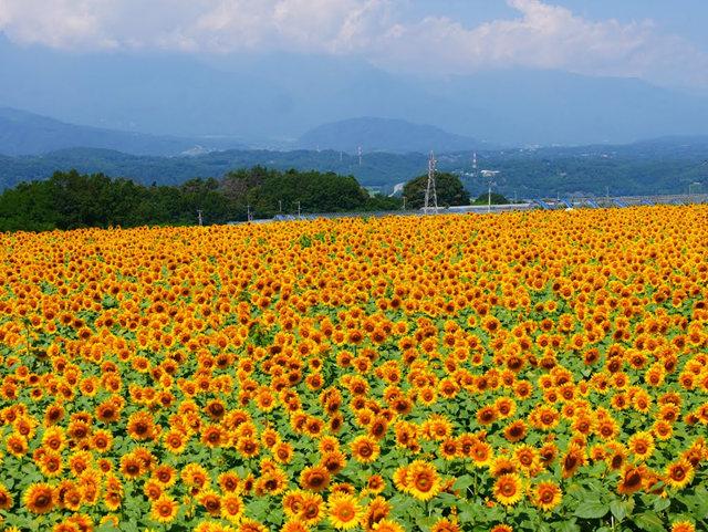 拍自今年8月11日的美国向日葵.与2013年拍自东京的日本向日葵_图1-17