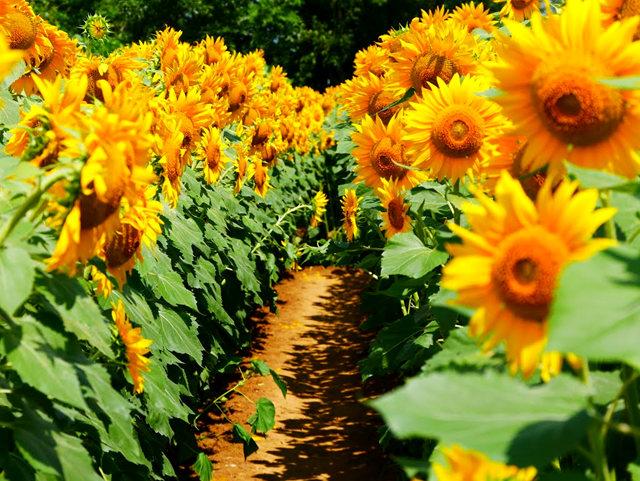 拍自今年8月11日的美国向日葵.与2013年拍自东京的日本向日葵_图1-19
