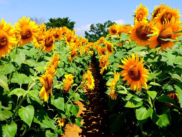 拍自今年8月11日的美国向日葵.与2013年拍自东京的日本向日葵_图1-20