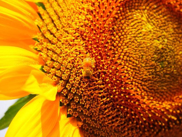 拍自今年8月11日的美国向日葵.与2013年拍自东京的日本向日葵_图1-23