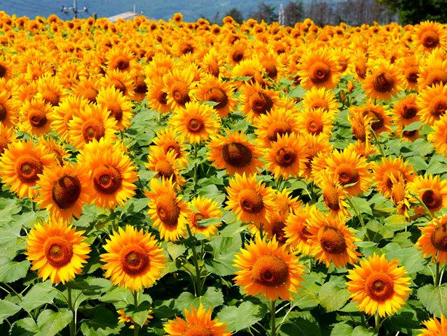 拍自今年8月11日的美国向日葵.与2013年拍自东京的日本向日葵_图1-25