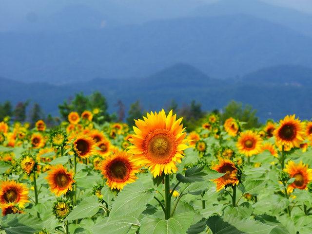 拍自今年8月11日的美国向日葵.与2013年拍自东京的日本向日葵_图1-26