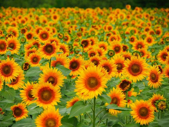 拍自今年8月11日的美国向日葵.与2013年拍自东京的日本向日葵_图1-27