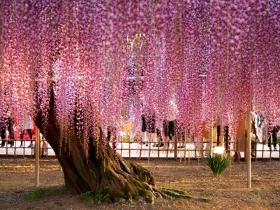 足利花卉公园看紫藤