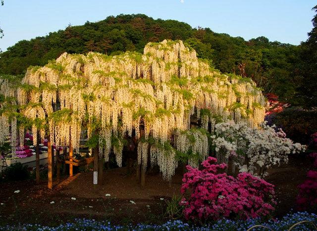 足利花卉公园看紫藤_图1-4