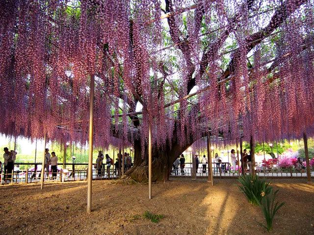 足利花卉公园看紫藤_图1-5
