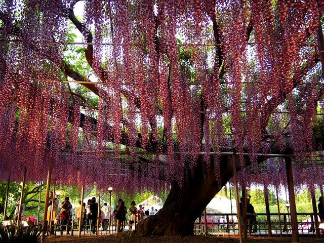 足利花卉公园看紫藤_图1-6