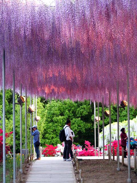 足利花卉公园看紫藤_图1-10