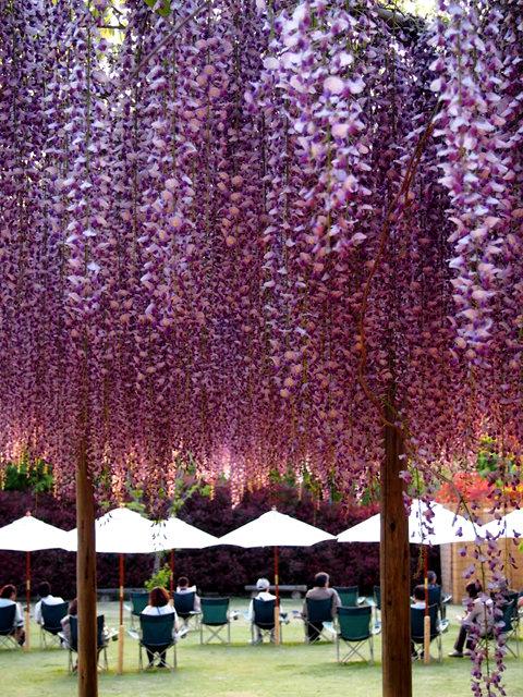 足利花卉公园看紫藤_图1-13