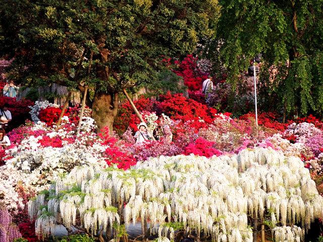 足利花卉公园看紫藤_图1-14