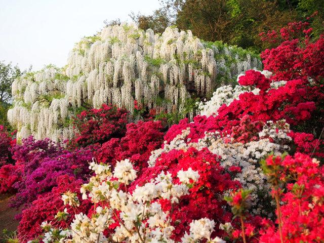 足利花卉公园看紫藤_图1-15