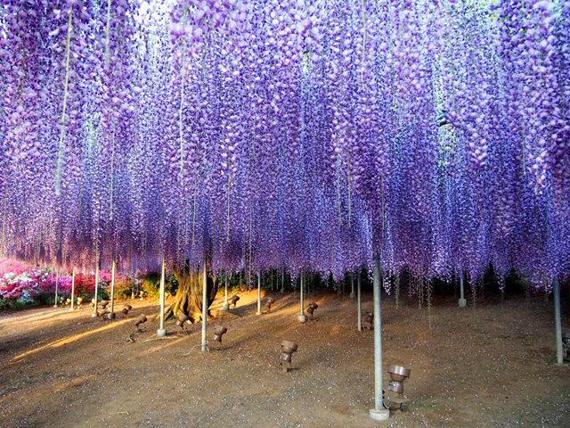 足利花卉公园看紫藤_图1-17