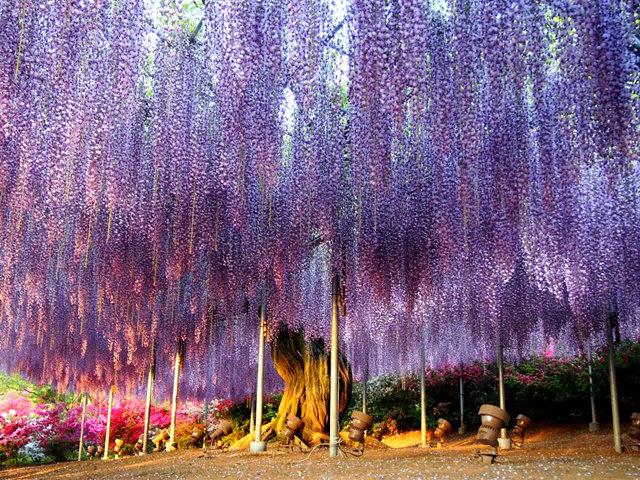 足利花卉公园看紫藤_图1-18