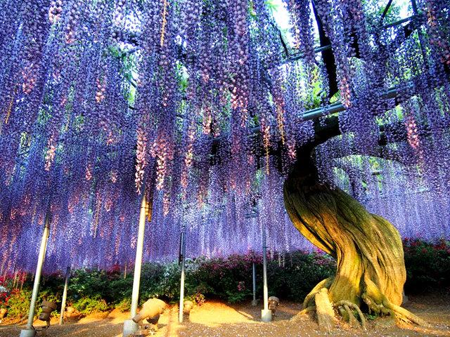 足利花卉公园看紫藤_图1-19