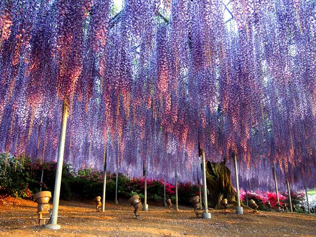 足利花卉公园看紫藤_图1-20