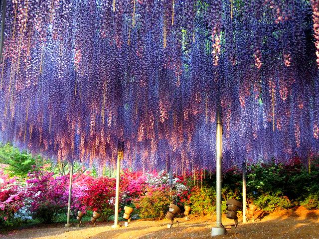 足利花卉公园看紫藤_图1-21