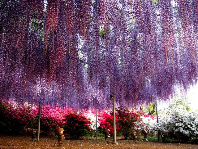 足利花卉公园看紫藤_图1-22