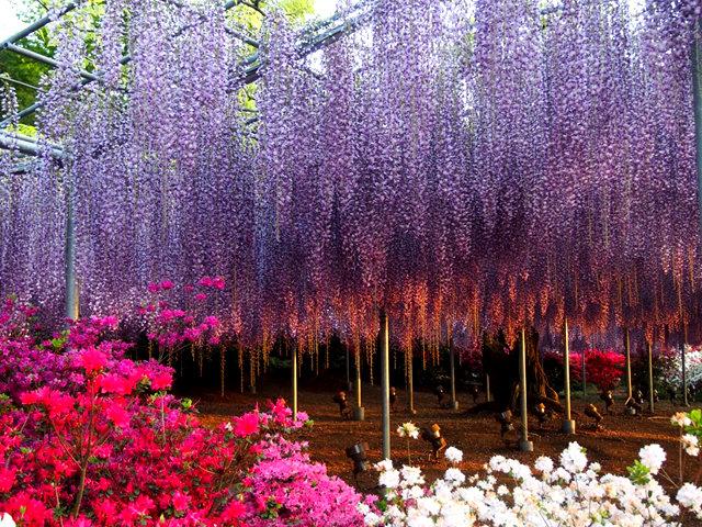 足利花卉公园看紫藤_图1-23