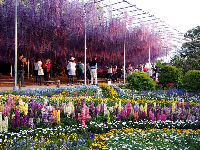 足利花卉公园看紫藤_图1-24