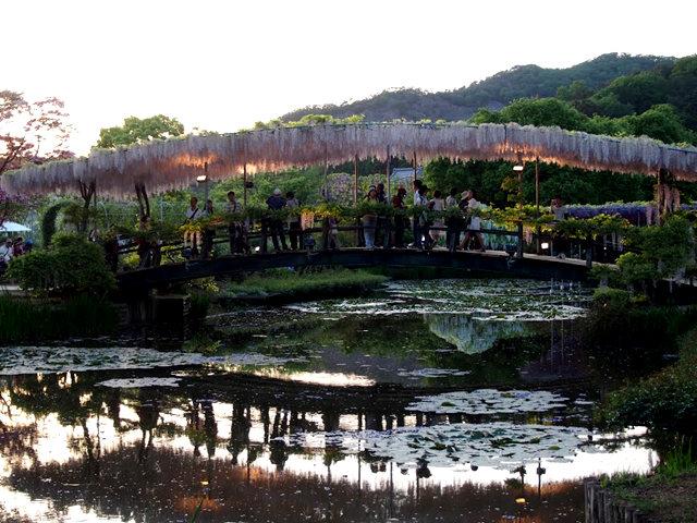 足利花卉公园看紫藤_图1-26