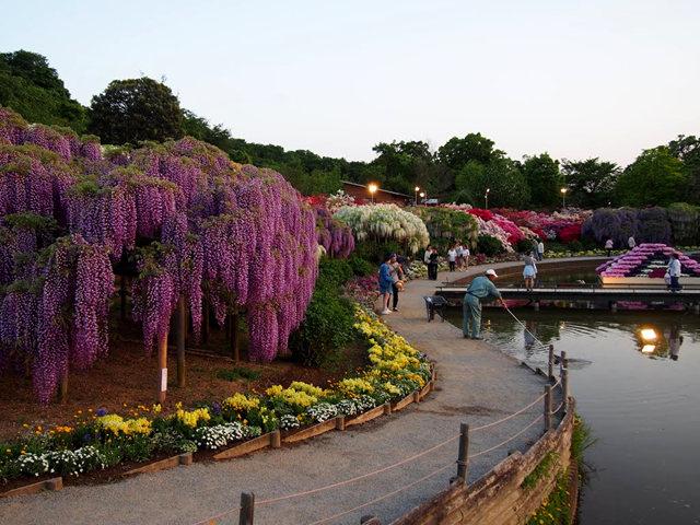 足利花卉公园看紫藤_图1-30