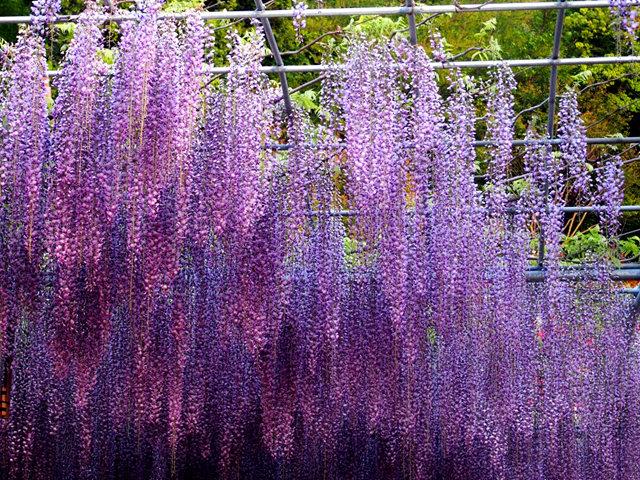足利花卉公园看紫藤_图1-31